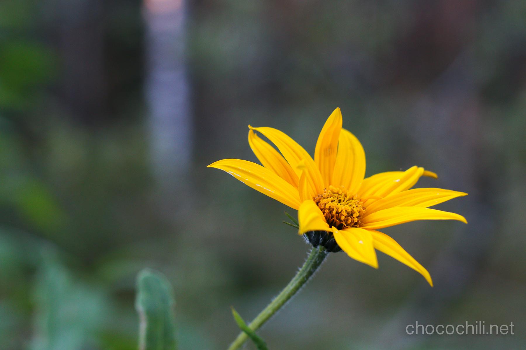 maa-artisokka-kukka